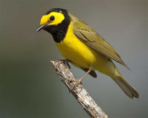 hooded warbler audubon field guide