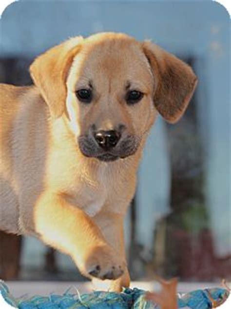 black cur golden retriever mix westport ct labrador retriever black cur mix meet duncan a puppy for adoption