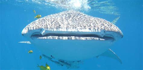 ningaloo whale shark and dive whale shark swims dive ningaloo