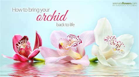 how to your to bring the back how to bring your orchid back to pollennation