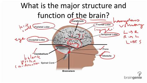 brain structure diagram brain structure and parts diagram of anatomy