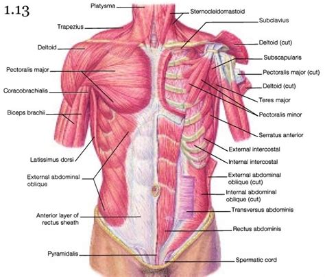 chest diagram muscles anatomy of chest bones anatomy of chest bones chest