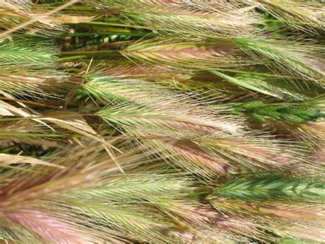 grass awns what is a grass awn 28 images awn botany wikipedia speargrass hillside veterinary