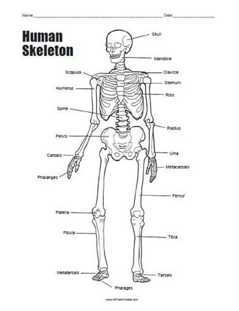 skeleton diagram human skeleton bones worksheet tenderness co