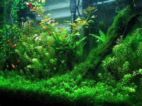 plants for tropical fish tanks fish tanks plants
