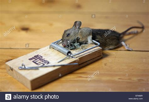 mouse benching mouse trap a dead mouse caught in a mouse trap stock photo royalty