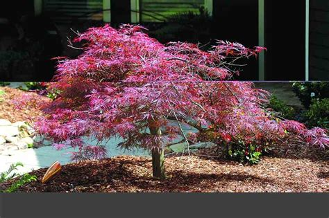 japanese maple red weeping filigree lace 10 quot pot hello