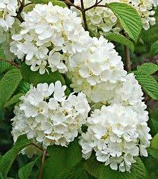 1000 images about spring shrubs bushes on pinterest