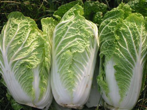Pupuk Organik Untuk Bunga Kol mengenal jenis jenis tanaman sayuran tanaman indonesia