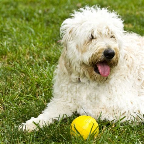 goldendoodle puppy facts goldendoodle breeders breed info center html autos