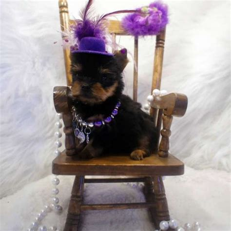 yorkie aircraft carrier 10 best images about teacup yorkies on micro teacup puppies miniature and