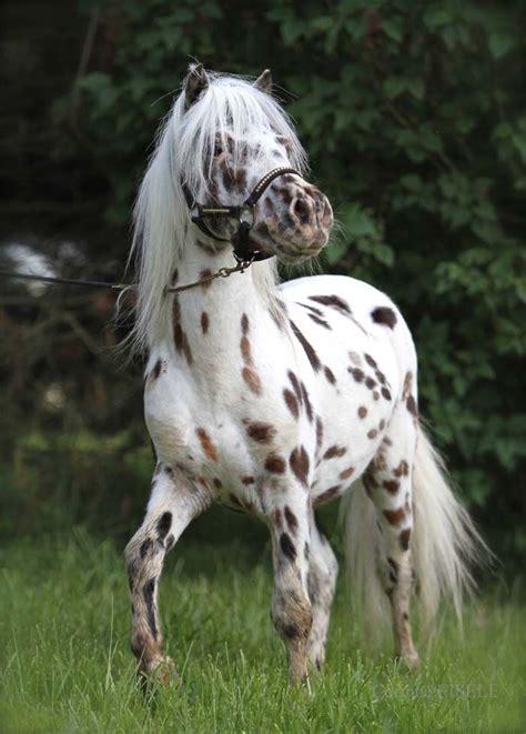 frisons irish  frison gypsy  friesian gypsy vanner cheval chevaux horse horses