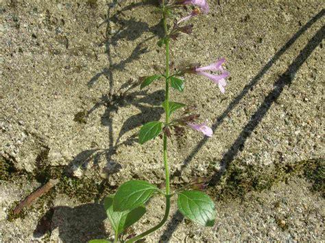 fiore violetto fiore violetto calamintha sp forum natura