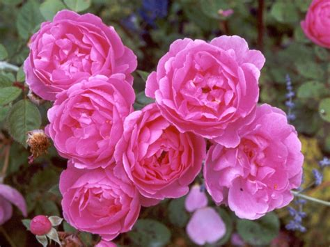 Pictures Of Pink Flowers - pink rose pictures