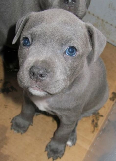 grey puppy with blue blue grey staffy staffordshire bull terrier blue grey and gray