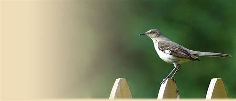 northern mockingbird facts photos and information