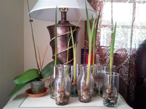 Growing Bulbs In A Vase by Forcing Gladiolus Bulbs In Vases Pictures Kenneth S Bulbs