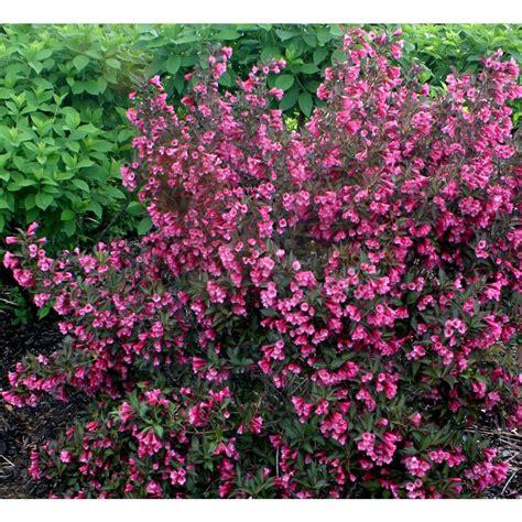 purple leaves pink flowers shrub proven winners wine and roses reblooming weigela florida