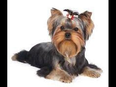how to potty my yorkie yorkie puppies how to potty a yorkie puppy yorkie house tips