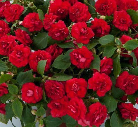 Wall Herb Garden by Plants Amp Flowers 187 Impatiens Holstii