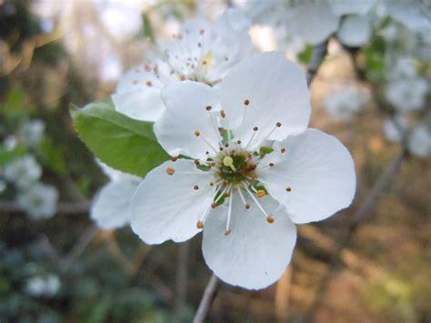 albero con fiori bianchi albero a fiori bianchi forum natura mediterraneo forum