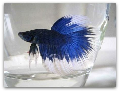 pet fish life expectancy betta fish life expectancy the pet blog lady celebrating our pets