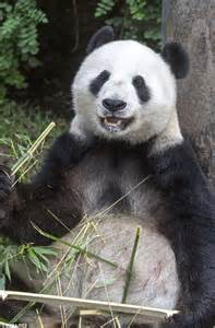 Giant panda Bai Yun takes a trip to the dentist after chipping her tooth   Daily Mail Online