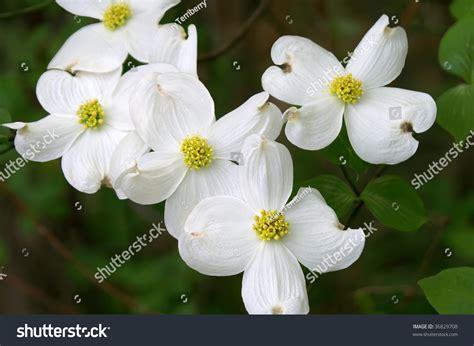 state flower of virginia dogwood branch bloom horizontal state flower stock photo