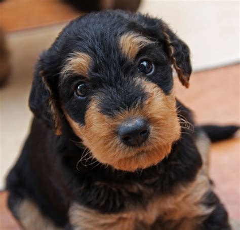 airedale puppies airedale puppy pictures png hi res 720p hd