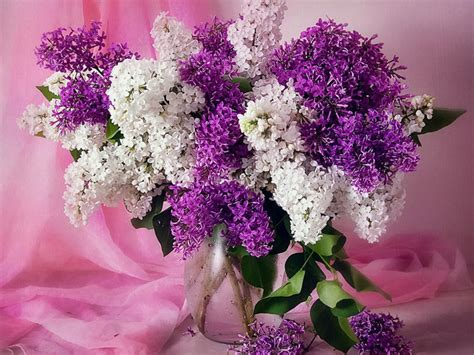 pretty in pink and purple on pinterest lilacs image detail for free lilacs lilacs wallpaper download