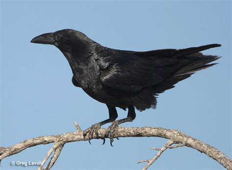Games To Play In The Backyard Chihuahuan Raven