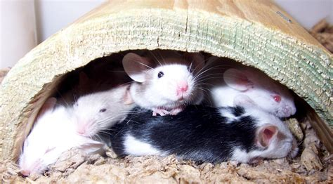 best bedding for rats mice health and care articles pet mice blog co uk