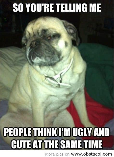 cool pug cool skeptical pug