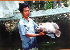 cara pembenihan ikan gurameh