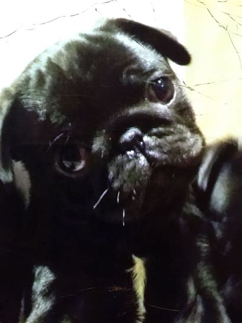pugs for sale in maidstone top kc black pug puppies maidstone kent pets4homes