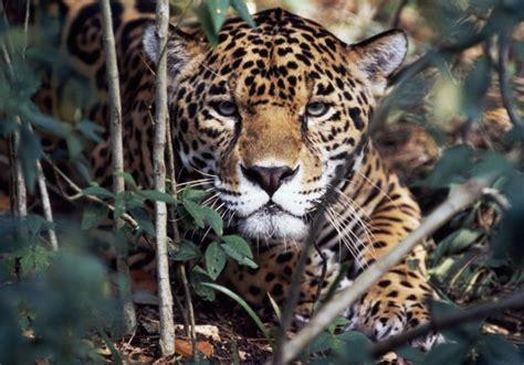 el jaguar panthera onca mascotas taringa cinco especies en peligro de extinci 243 n en m 233 xico tecreview