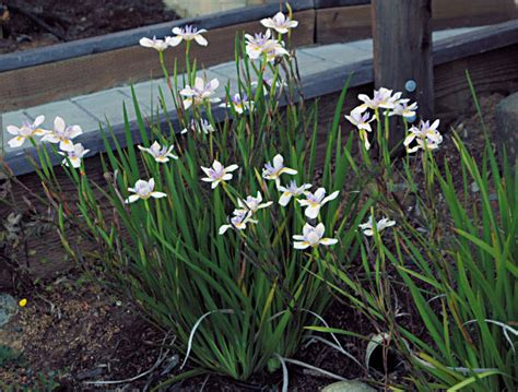 Types Of Garden Herbs - dietes wild iris hello hello plants amp garden supplies