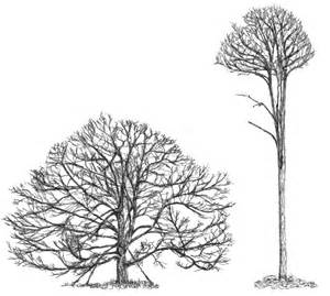Oak Tree Drawing White Oak Tree Drawing Images Amp Pictures Becuo