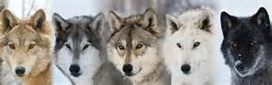 wolf colors instinct animals for animal actors wolves for