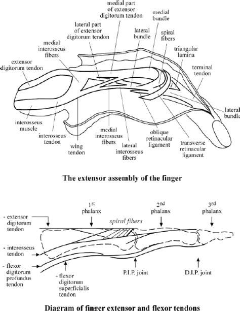 finger diagram finger tendon diagram 21 wiring diagram images wiring