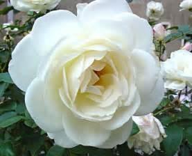 imagenes de rosas sangrientas cu 225 l es el significado de las rosas blancas 4 pasos