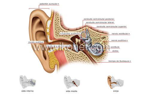 ser humano gt 243 rganos sensoriales gt o 237 do gt estructura