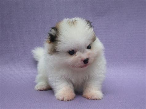 cutest pomeranian puppy puppy dogs pomeranian puppies
