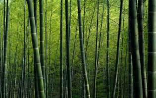 xp wallpaper bamboo