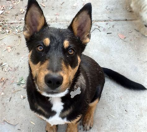 rottweiler shepherd mix 10 awesome doberman mixes you need to feast your on