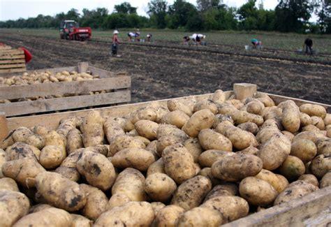 Kartoffeln Richtig Lagern 4999 by Kartoffeln Lagern Richtig Aufbewahren Plantura