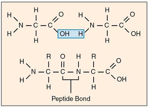 diagram of peptide bond schematic of a peptide get free image about wiring diagram
