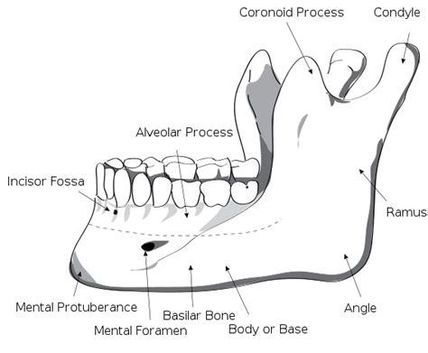 mandible diagram mandible anatomybox