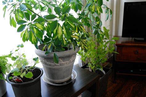 alberi da appartamento piante casa piante appartamento caratteristiche delle