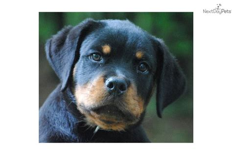 akc rottweiler puppies for sale in michigan rottweiler for sale for 1 500 near saginaw midland baycity michigan 31447f17 8091